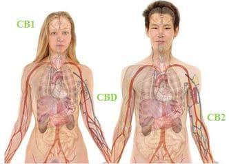 CBD-cannabidiol-канабидиол-ендоканабиноиди-в-тялото-endocannabinoids-in-body-CB1-CB2-receptors-рецептори