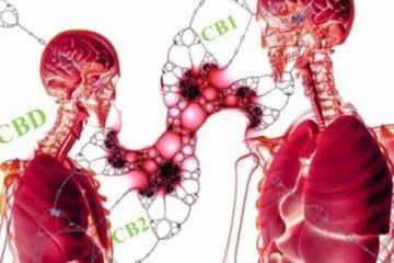 CBD-cannabidiol-канабидиол-дефицит-ендоканабиноиди-ендоканабиноидна-система-endocannabinoid-system